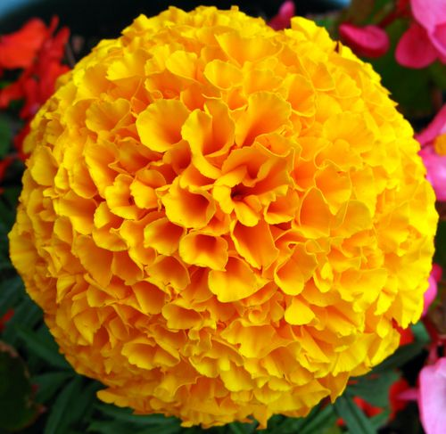 Yellow_French_Marigold_Flower