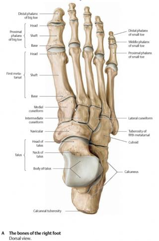 Dorsal_foot